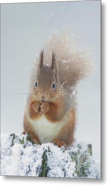 Red Squirrel With Snowflakes Metal Print