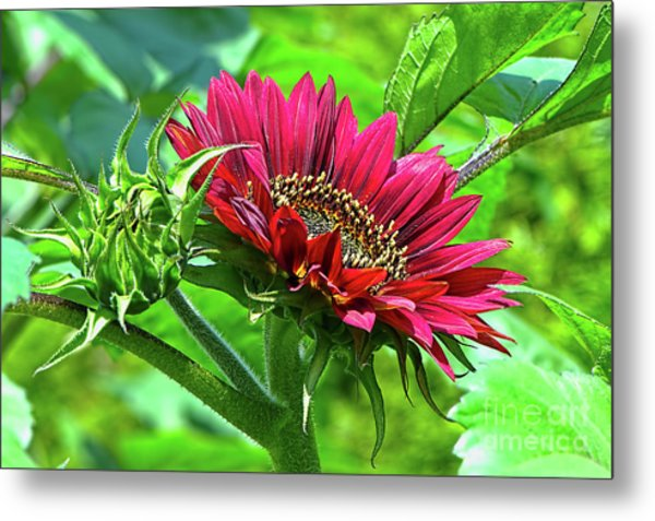 Red Sunflower Metal Print by Sharon Talson