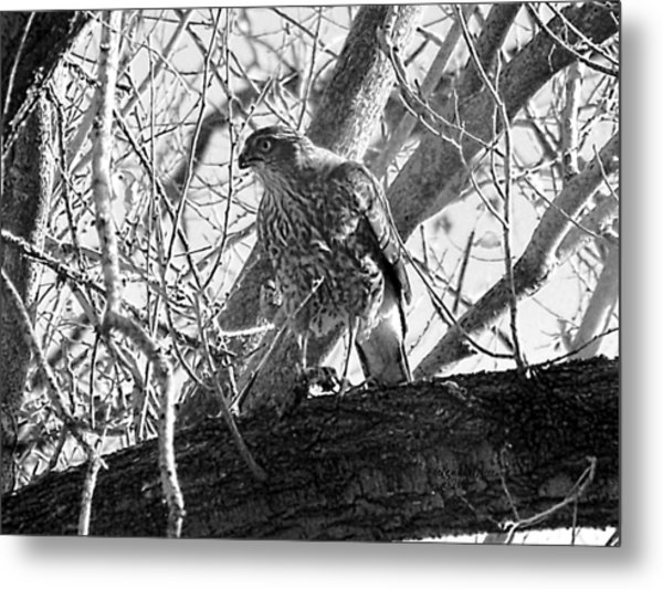 Red Tail Hawk In Black And White Metal Print