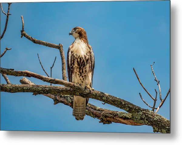 Red Tail Hawk Perched Metal Print