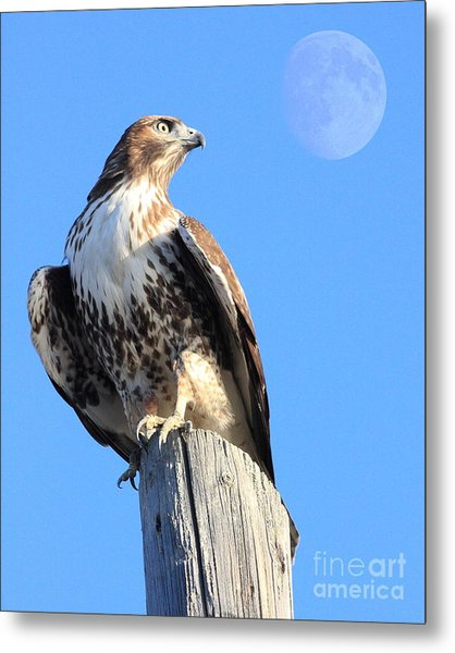 Red Tailed Hawk And Moon Metal Print