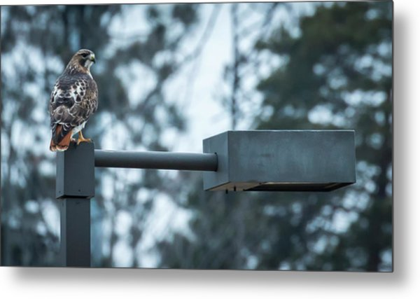 Metal Print featuring the photograph Red Tailed Hawk At Parkside by Ricky L Jones