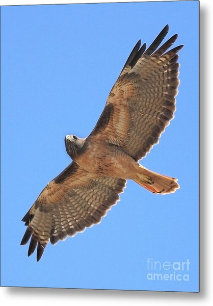 Red Tailed Hawk In Flight Metal Print