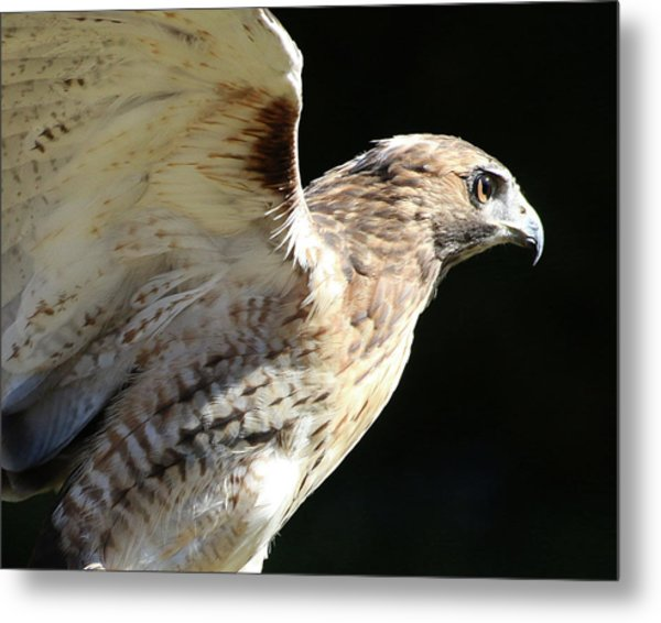 Red-tailed Hawk In Profile Metal Print