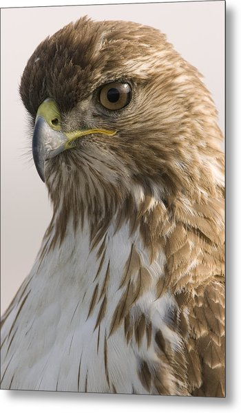 Red Tailed Hawk Juvenile Stevens Creek Metal Print