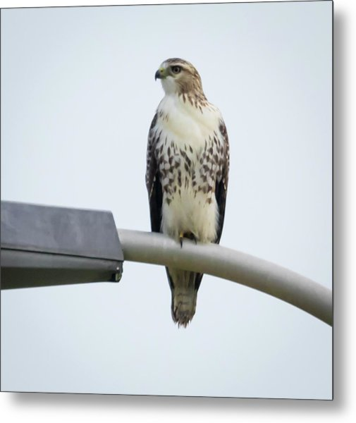 Metal Print featuring the photograph Red-tailed Hawk Looking At Me by Ricky L Jones