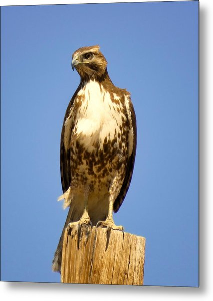 Red-tailed Hawk On Post Metal Print