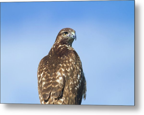 Red-tailed Hawk Perched Looking Back Over Shoulder Metal Print