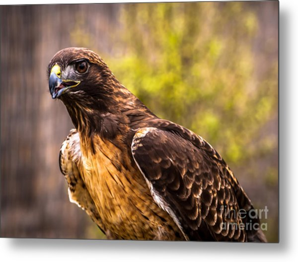Red Tailed Hawk Profile 2 Metal Print