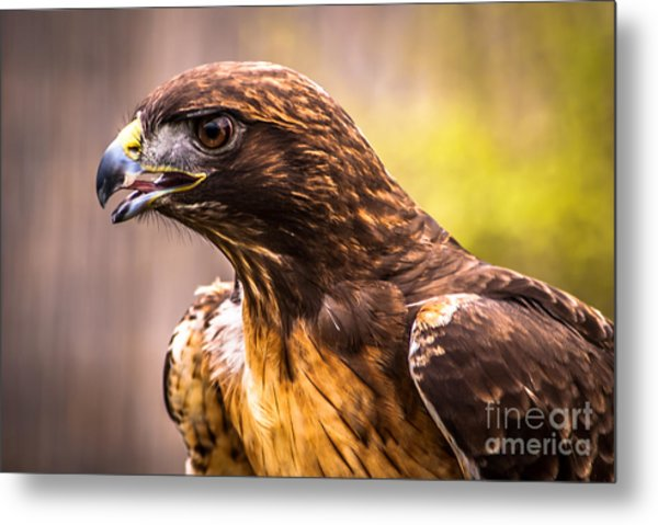 Red Tailed Hawk Profile Metal Print