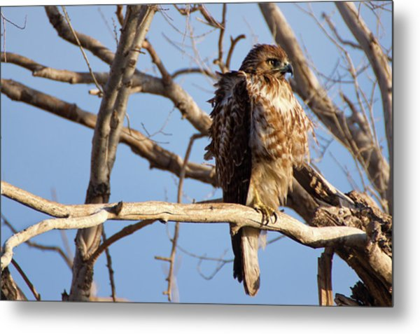 Red Tailed Metal Print