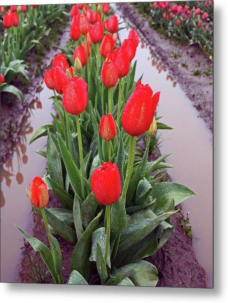 Red Tulip Row Metal Print by Kami McKeon
