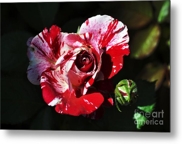 Red Verigated Rose Metal Print