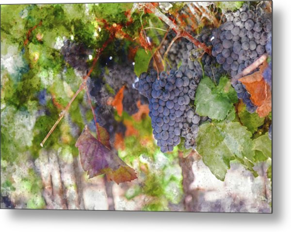 Red Wine Grapes On The Vine In Wine Country Metal Print