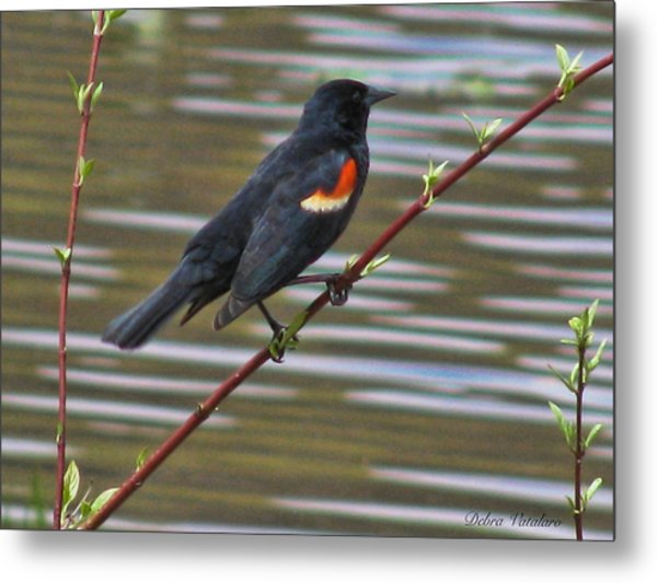 Red Wing Black Bird Metal Print