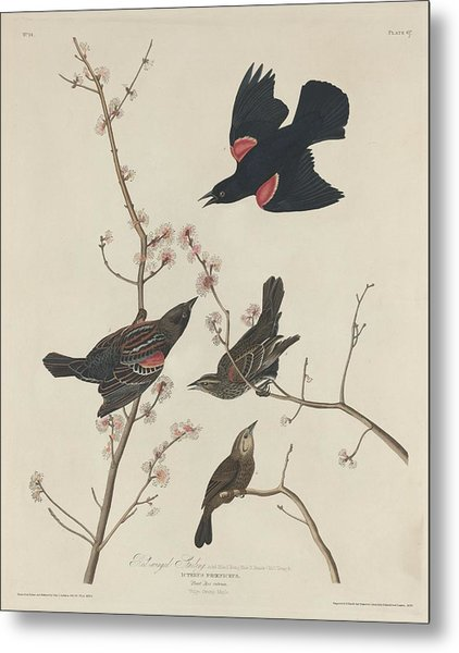 Red-winged Starling Metal Print