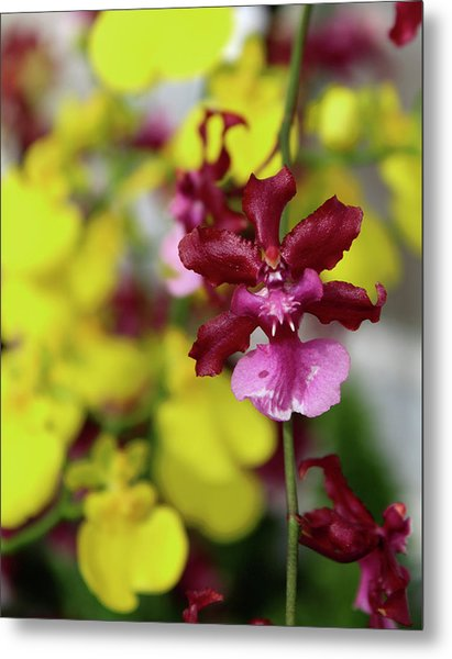 Maroon And Yellow Orchid Metal Print