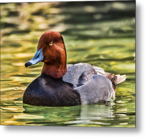 Redheaded Duck Metal Print