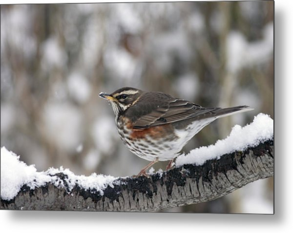 Redwing Perched On A Snowy Branch Metal Print