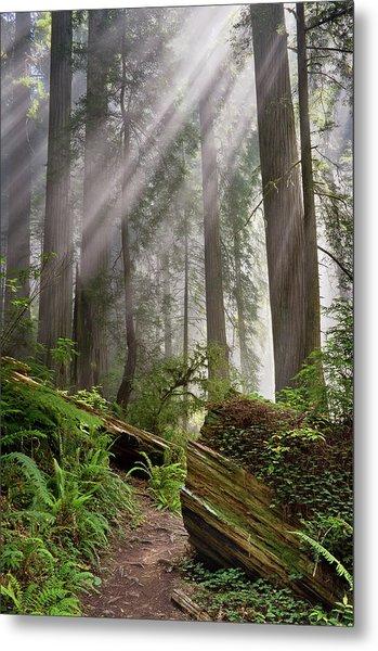 Redwood Light Metal Print