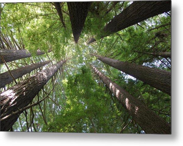 Redwood Tree Scope Metal Print