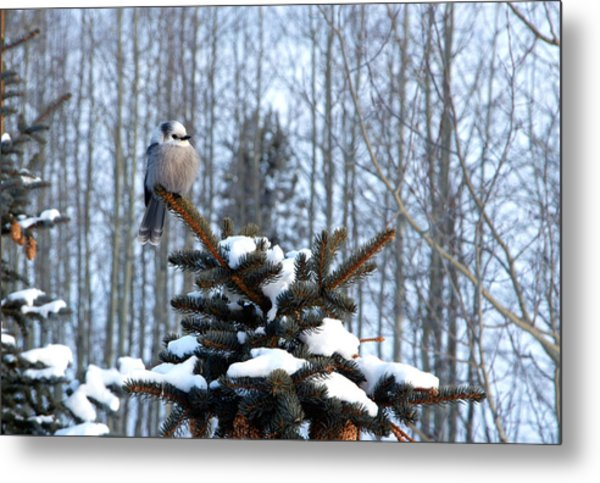 Refined Little Gray Jay In Colorado Metal Print