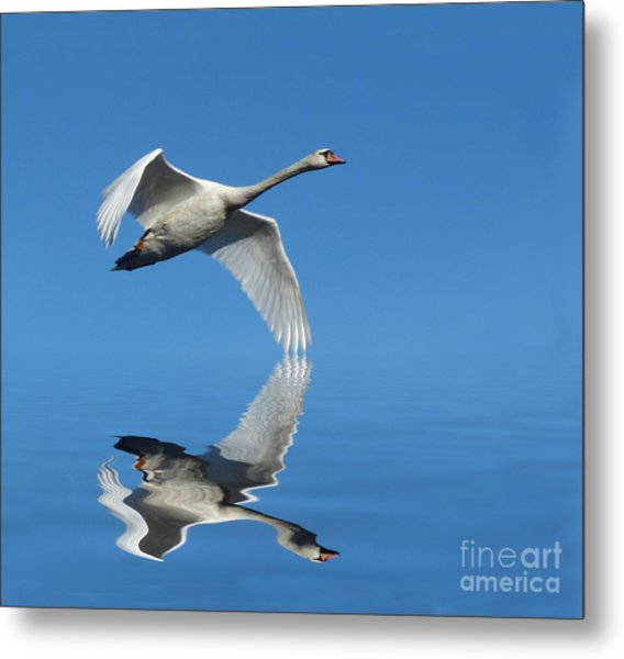 Reflected Swan Metal Print