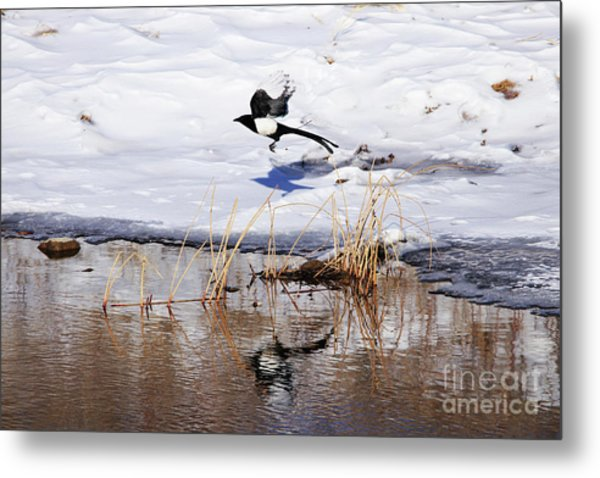 Reflecting Magpie Metal Print