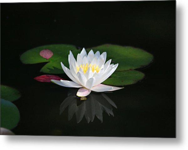 Reflections Of A Water Lily Metal Print