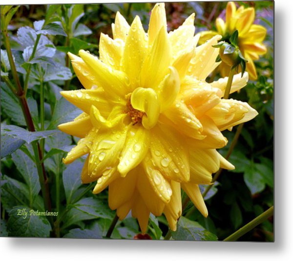 Refreshed Dahlia  Metal Print