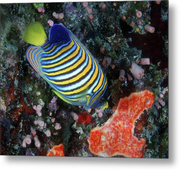 Regal Angelfish, Great Barrier Reef Metal Print