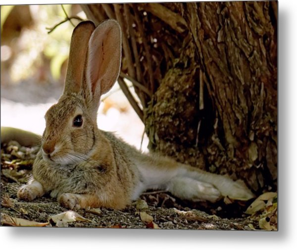 Relaxing Cottontail Metal Print
