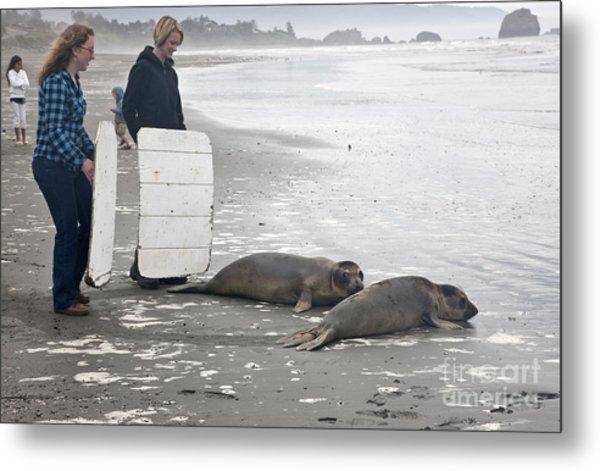 Releasing Rescued Steller Sea Lions Metal Print