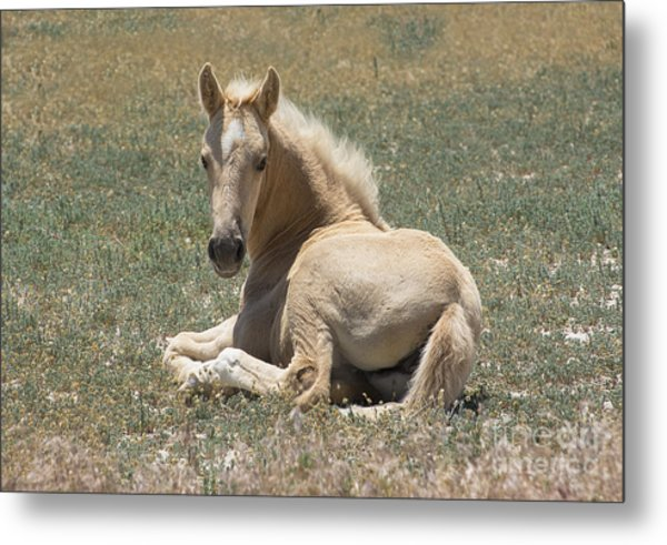 Resting Filly Metal Print by Nicole Markmann Nelson