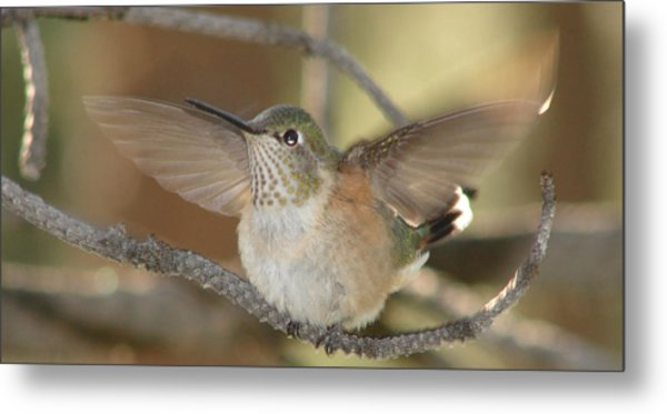 Resting Humming Bird Metal Print