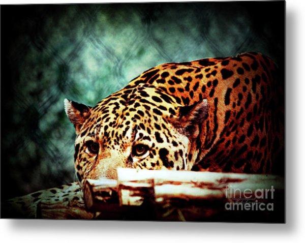 Resting Jaguar Metal Print