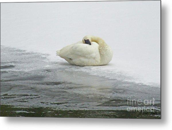 Resting Swan-signed-#1314 Metal Print