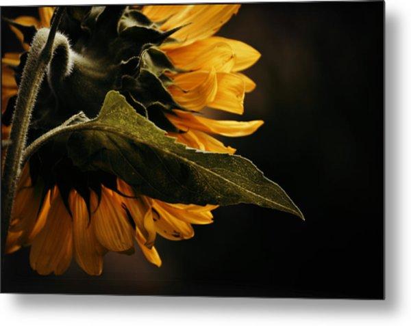 Reticent Sunflower Metal Print