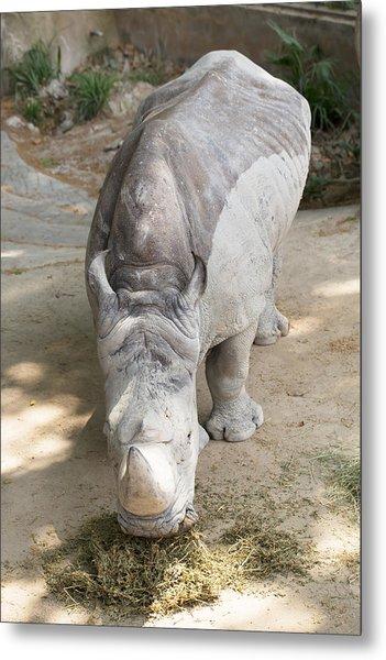 Rhino Eats Hay  Metal Print