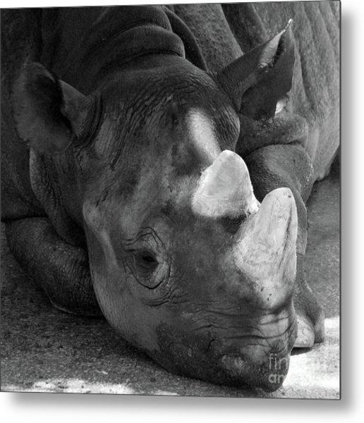 Rhino Nap Metal Print