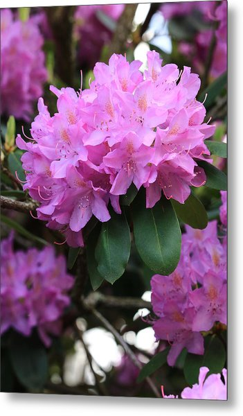 Rhododendron Beauty Metal Print