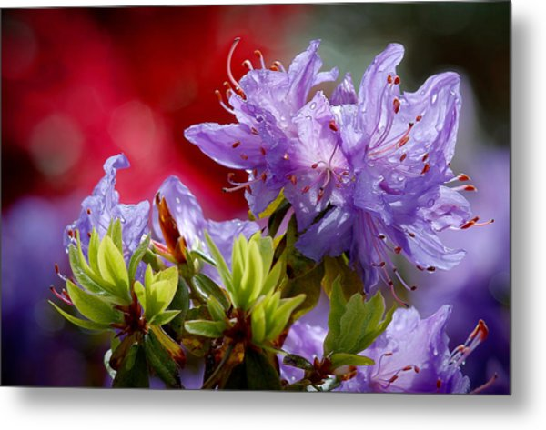 Rhododendron Bluebird Metal Print