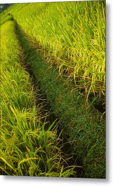 Rice Field Hiking Metal Print