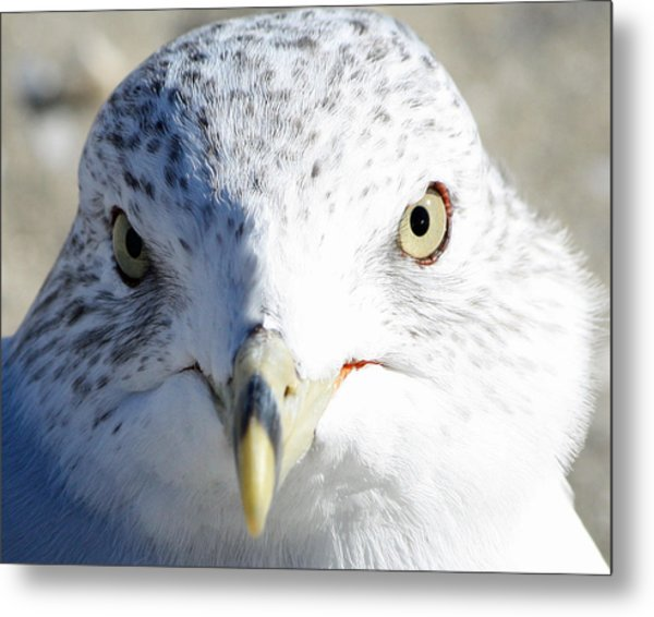 Ring Billed Gull Metal Print