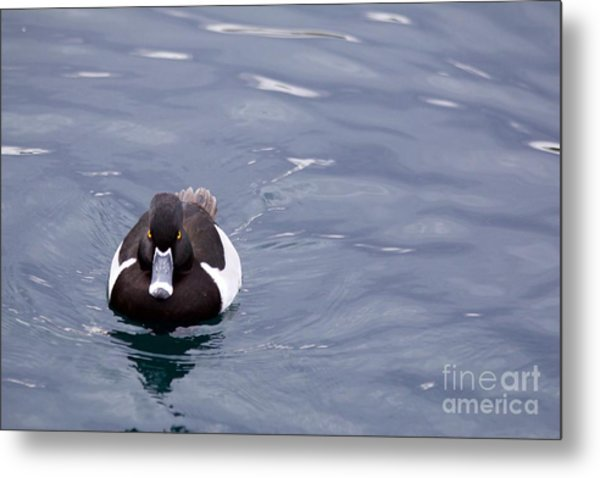 Ring-necked Duck Metal Print