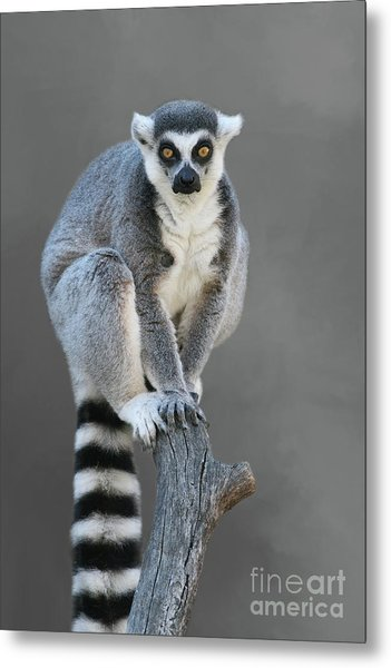 Ring-tailed Lemur #6 V2 Metal Print