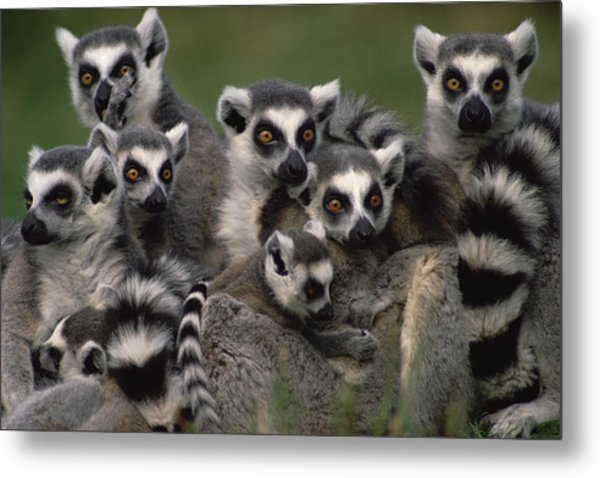 Ring-tailed Lemur Lemur Catta Group Metal Print