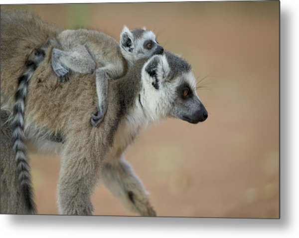 Ring-tailed Lemur Mom And Baby Metal Print