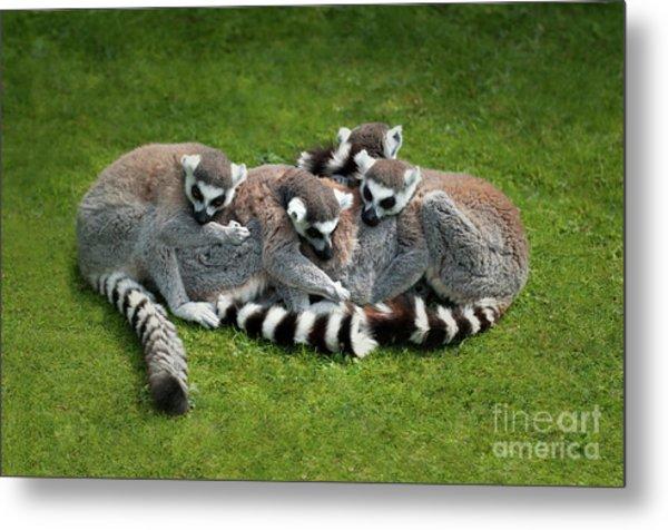 Ring Tailed Lemurs Metal Print