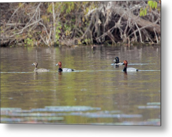 Ringed-necks And Redheads Metal Print